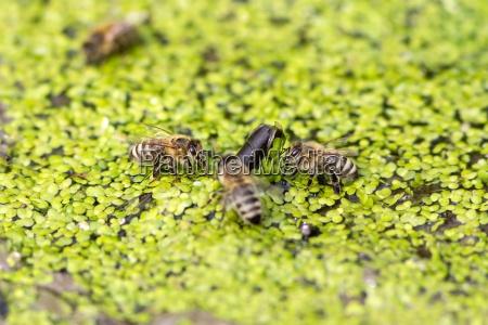 drinking honey bees on small duckweed