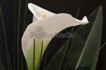 blooded a white calla lily with