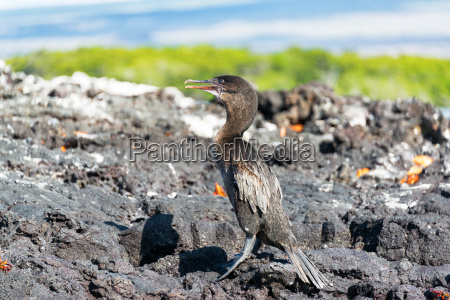 flightless cormorant in galapagos
