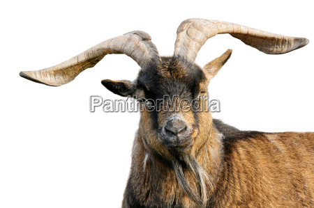 goat with horns isolated on white