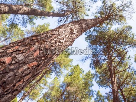 cortex pine close up