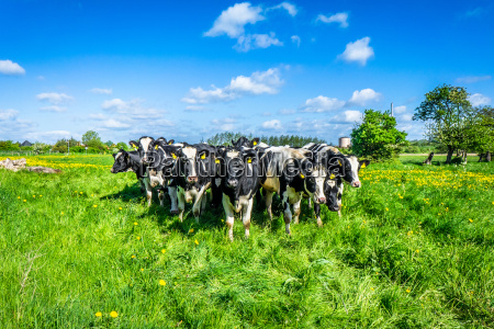 cows on the country