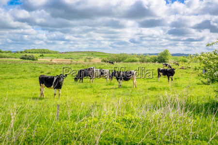cows standing on a field