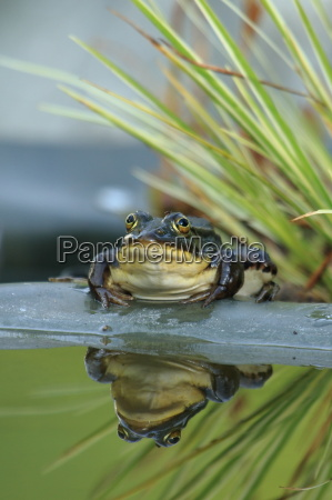 pond frog with fly on the