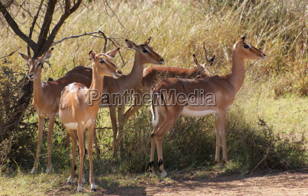 antelopes in botswana