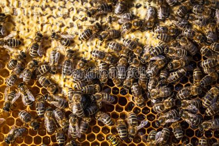 macro shot of bees swarming on