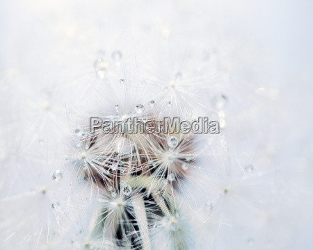 macro of a dandelion with dew