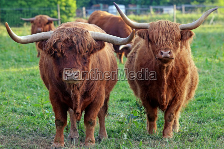 male and female highland cattle