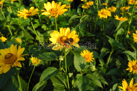 flowers yellow flowering basket flower and
