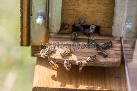 honey bees at beehive