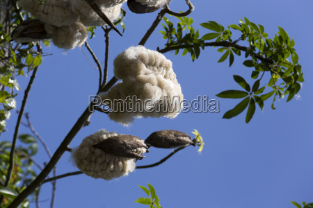 cotton plant ready for harvest