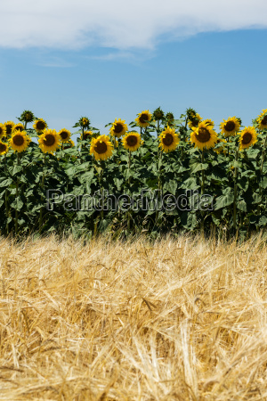 agriculture with sunflowers and cereals