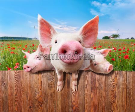 three charming pigs from wonderful farm