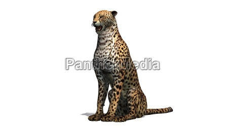 cheetah separated on white background
