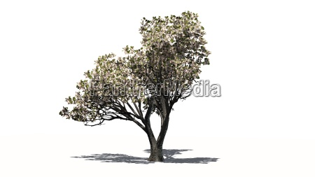 apple tree with blossoms on white