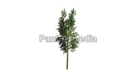 bamboo plant on white background