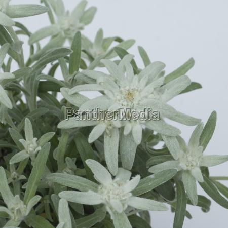 edelweiss leontopodium nivale