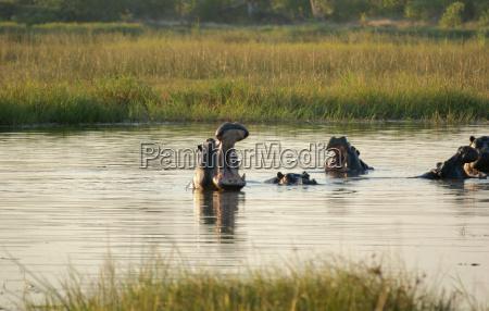 hippos in botswana