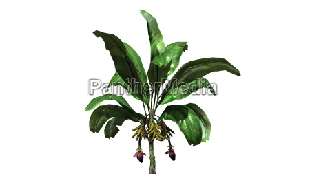 banana plant with fruits on white