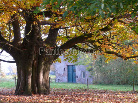 chestnut in autumn