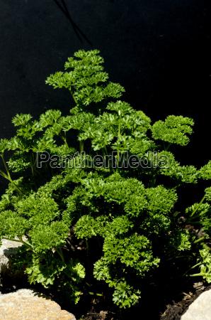 petersilie petroselinum crispum krause heilpflanze kraeuter