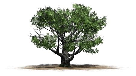 white oak tree on white background