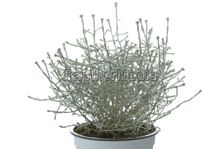 calocephalus brownii barbed wire plant