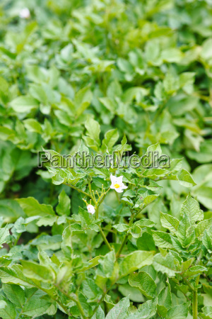green potato field with flowers in