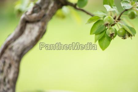 green apples on a bonsai apple