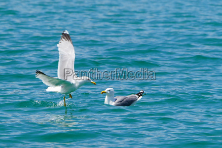 two sea gulls swims and flight