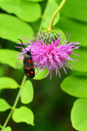 six spot burnet with a grasshopper