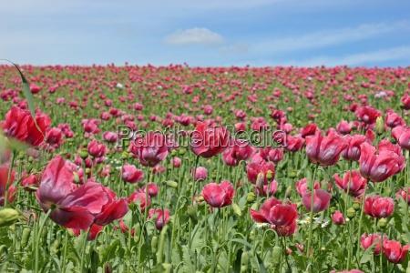opium poppy flower papaver somniferum in