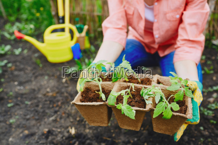 tomato sprouts in peat pots