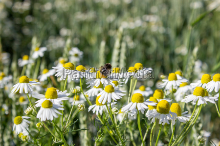camomile on the field with a