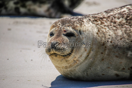 cone seal on the beach of