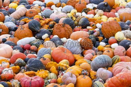 different maxima and pepo cucurbita pumpkin