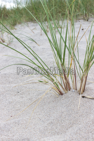beach grass in sand beach