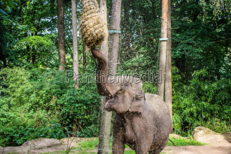hay covered hungry asian elephant elephas