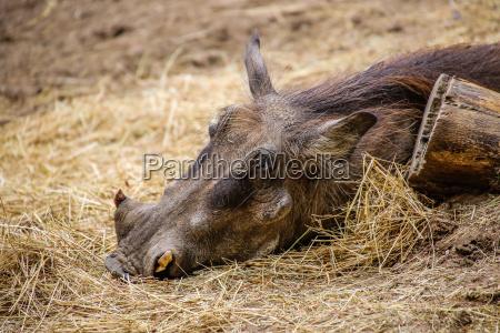 warthog phacochoerus africanus close up
