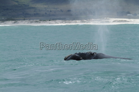 right whales off south africa