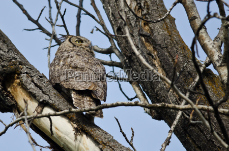 great horned owl scanning across the