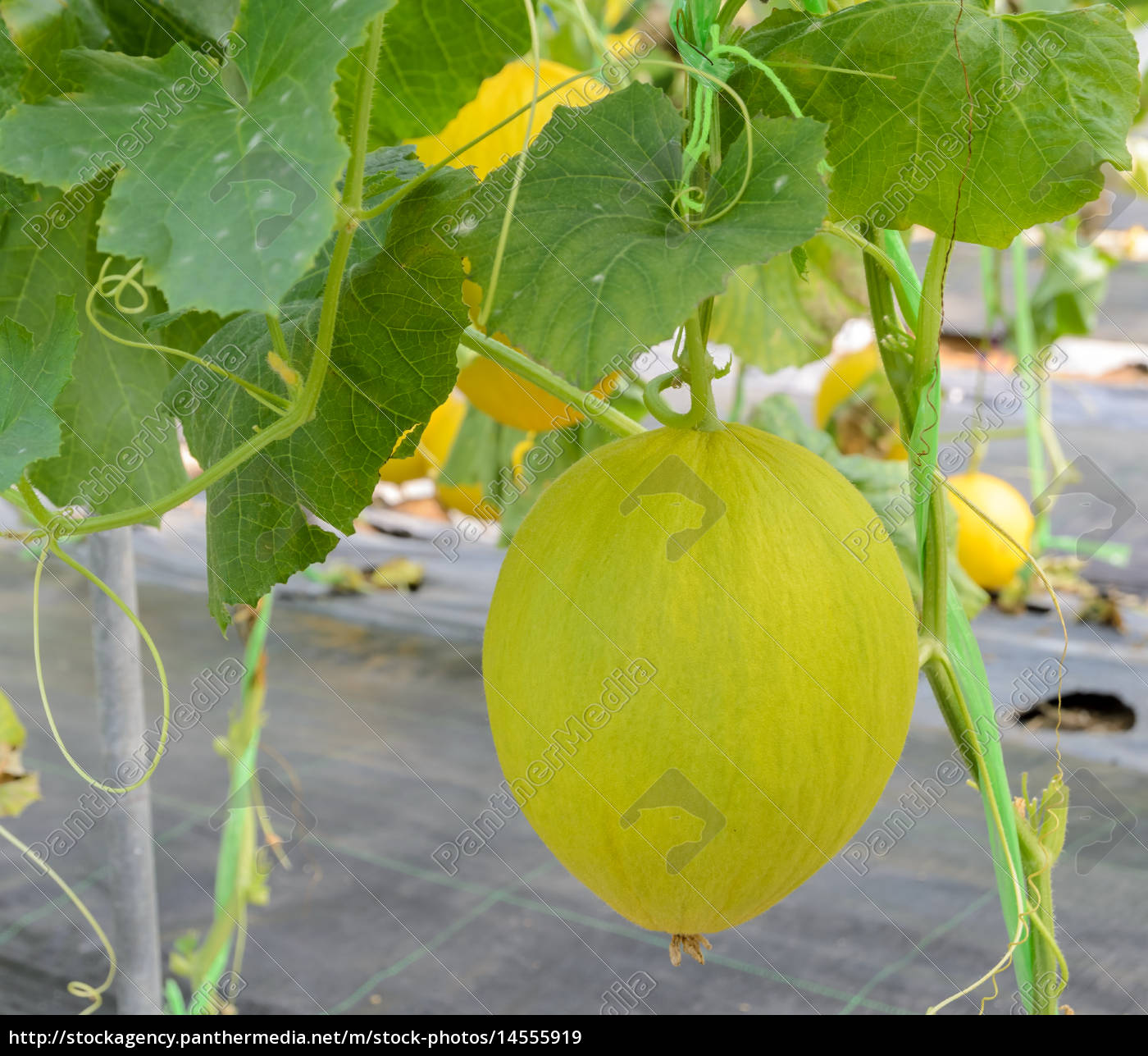 Canary Melon Fruit On Its Tree Royalty Free Image 14555919 Panthermedia Stock Agency Here's how to grow cantaloupes in your garden! panthermedia stock agency