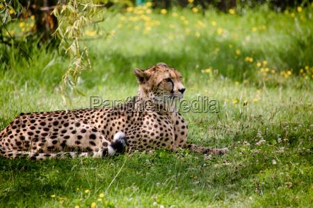 close up of a cheetah acinonyx