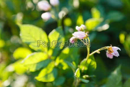 potato flowers in green garden