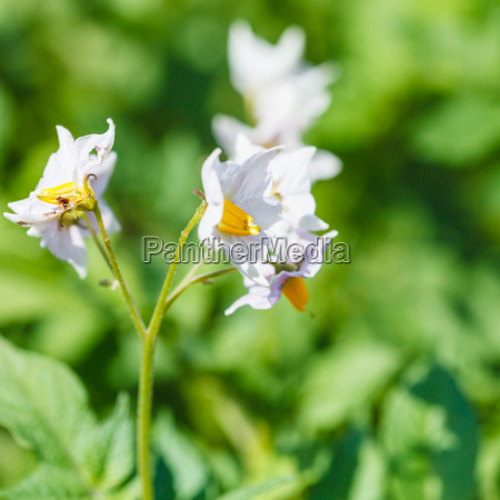flowering potato close up in garden