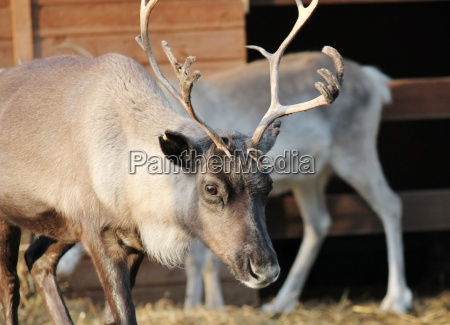 shaggy reindeer with peeling shedding velvet