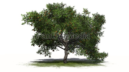 peach tree with fruits on a