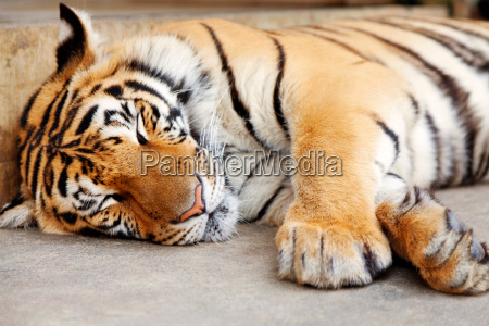 sleeping tiger chiang mai thailand sleeping