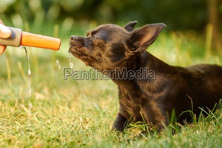 chihuahua dog very thirsty on a