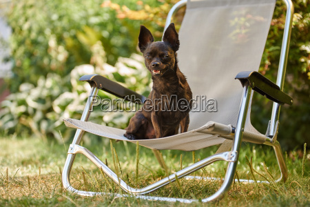 chihuahua dog sitting on a chair